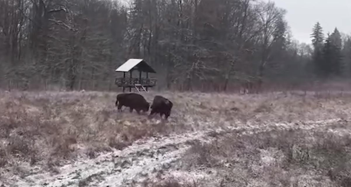 Luptă între zimbri filmată în Parcul Natural Vânători Neamț