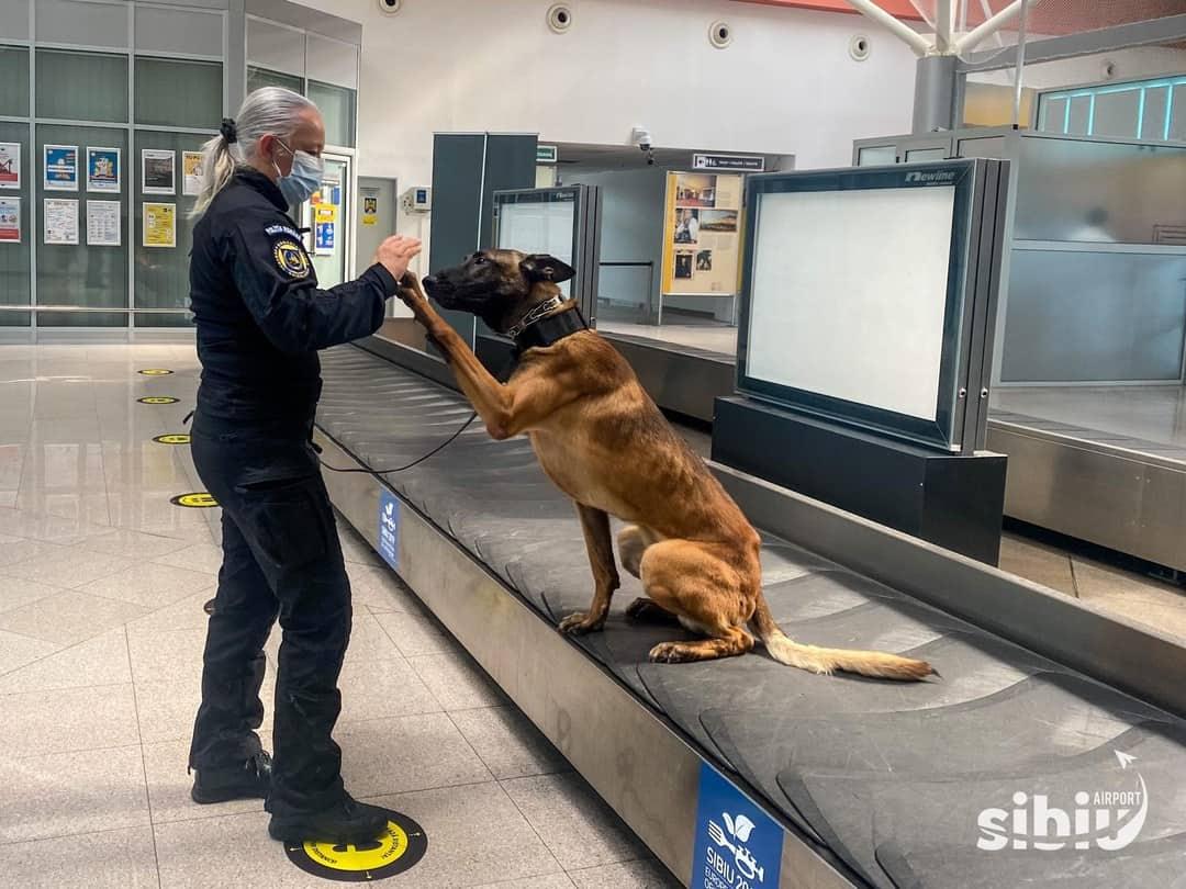 Premieră în România. Câni care detectează COVID 19 pe aeroportul din Sibiu